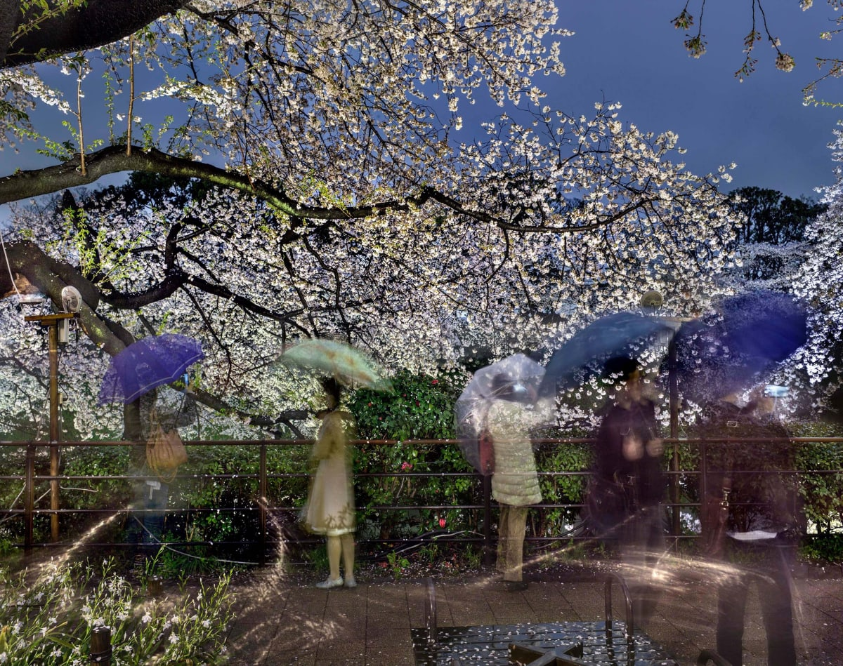 small group of people with umbrellas under cherry blossoms at night