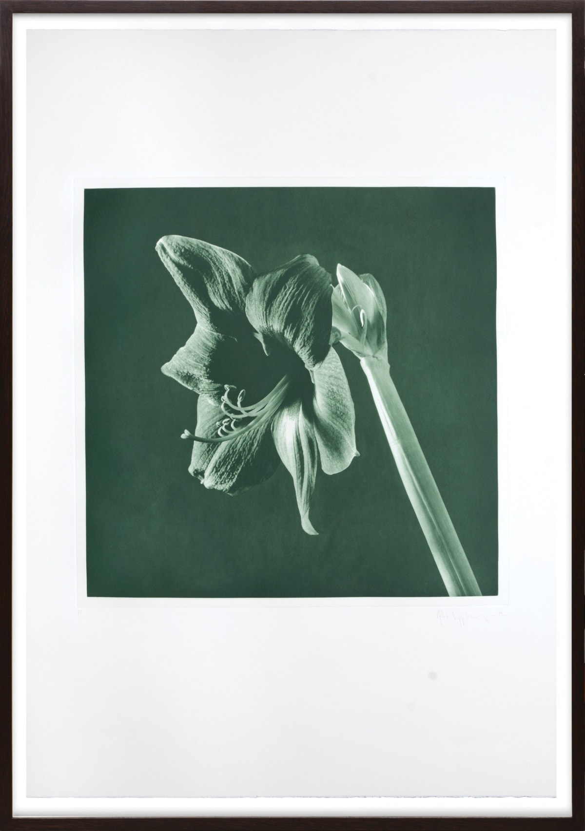 Robert Mapplethorpe, Green Amarylis, 1987 Toned photogravure on Arches wove paper, all edges untrimmed 48.5 x 48.4 cm