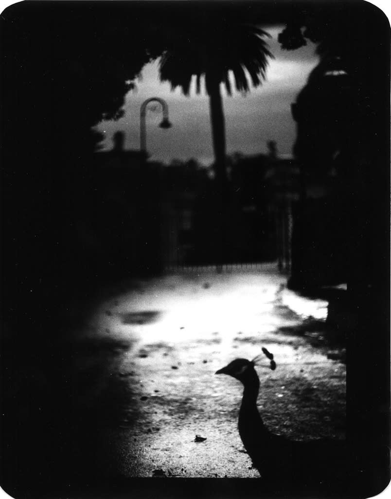 Giacomo Brunelli, Untitled, Peacock, 2006