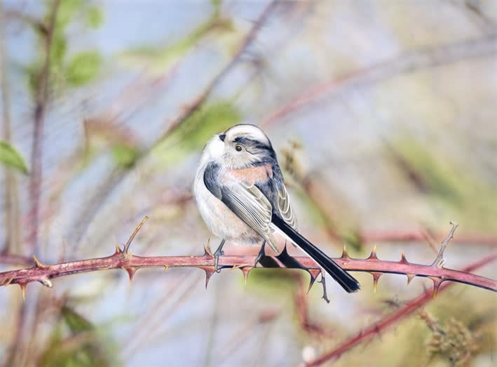 Adrian Smart Long Tailed Tit