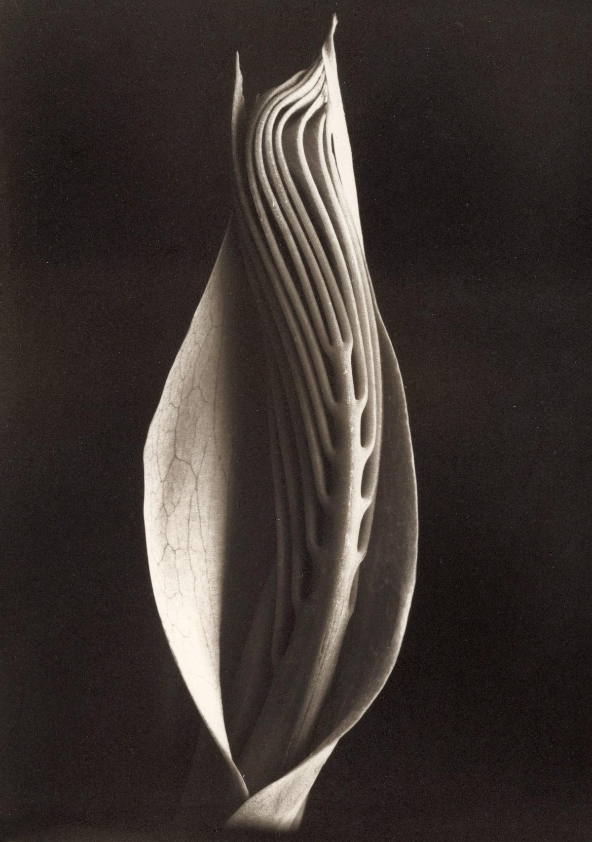 Milianthus, 1996
