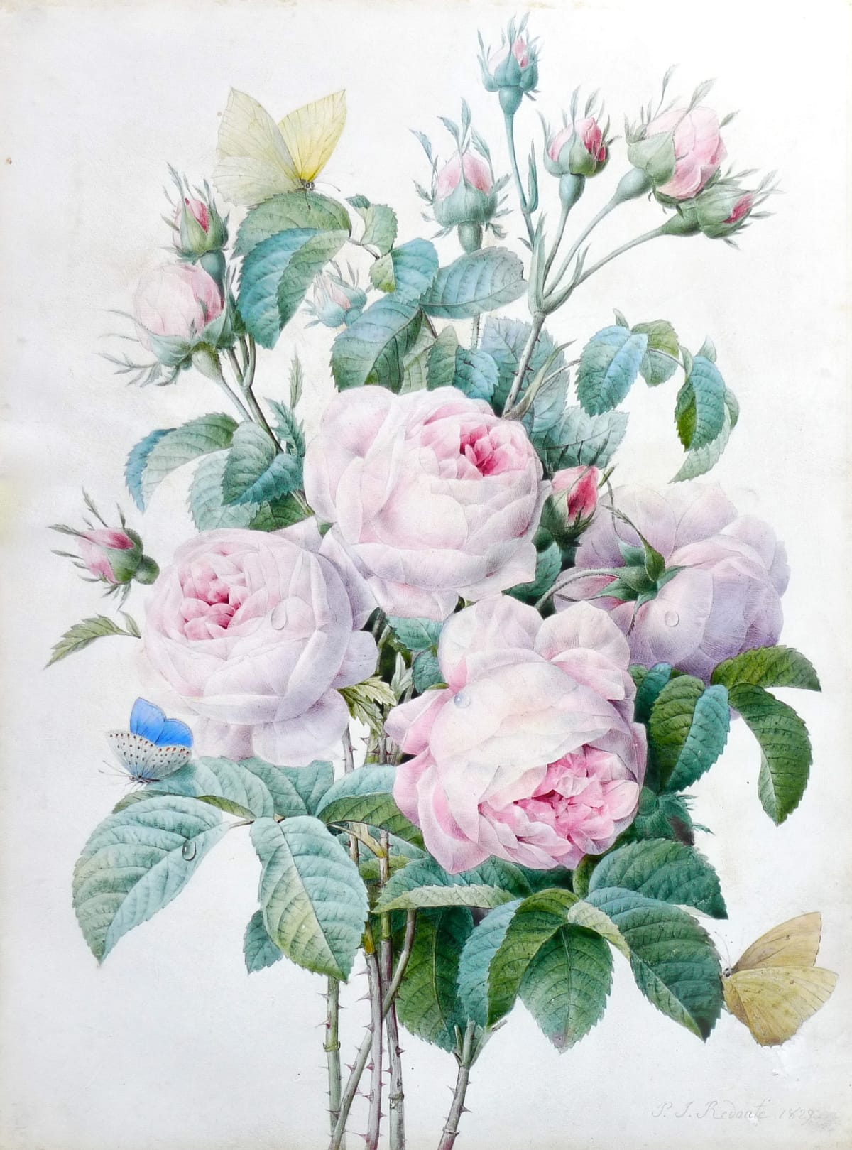Pierre Joseph Redoute Spray of Pink Roses, with a Brimstone, one Blue and two yellow Butterflies, 1829 Pencil and Watercolour on Vellum SOLD