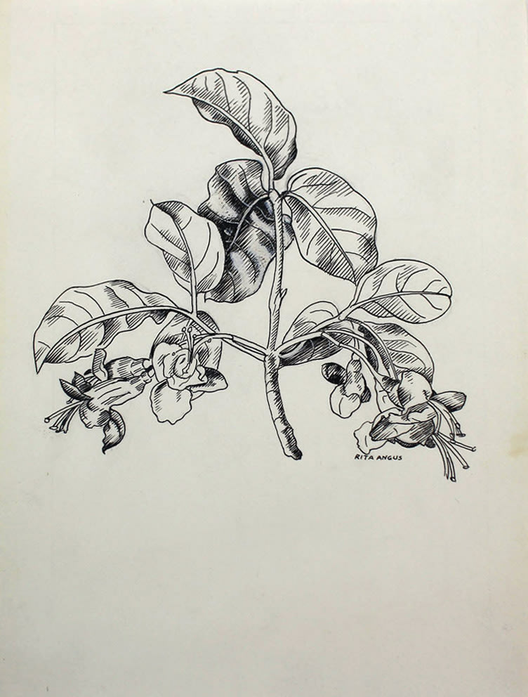 Untitled [Botanical Study]