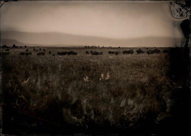 Cattlescape, 2019