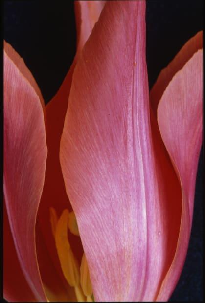 Flammes sur fond noir (Tulipe Lys) - 1992, mars 2012