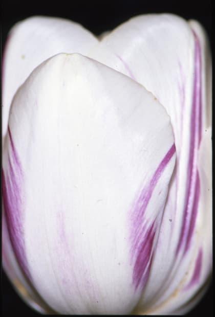 Flammes violettes sur fond blanc - 21 avril 1992, mars 2012