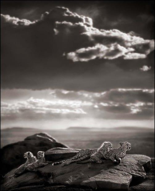Cheetah & Cubs Lying on Rock, Serengeti, 2007