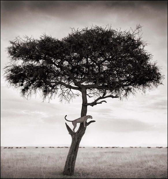 Cheetah in Tree, Maasai Mara, 2003