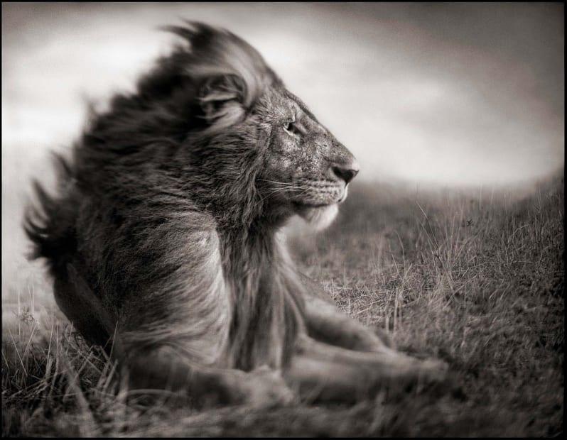 Lion Before Storm II - Sitting Profile, Maasai Mara, 2006