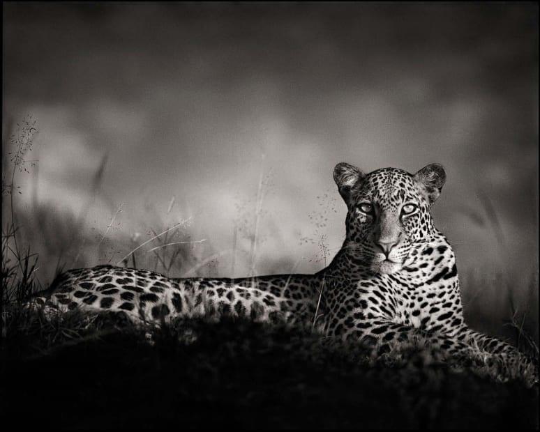 Leopard Staring, Maasai Mara, 2010