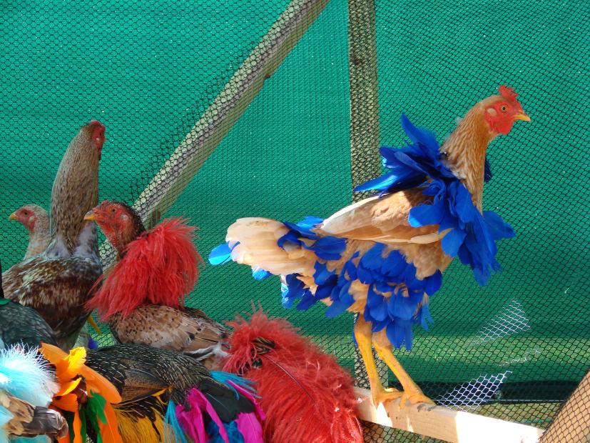 Gala Chickens, 2004-2015