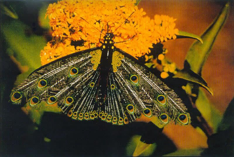 Collishaw butterfly image