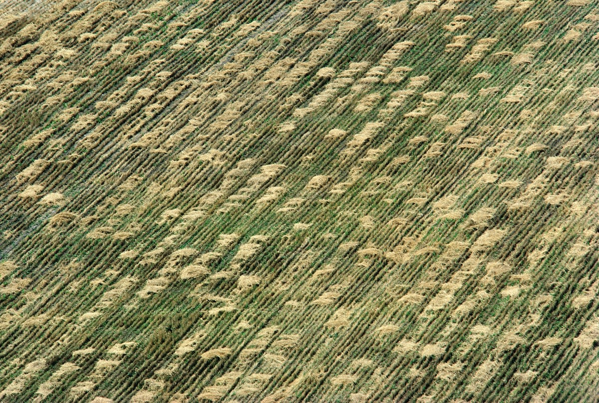 Agnes Denes, Wheatfield – A Confrontation: Battery Park Landfill, Downtown Manhattan – Aerial View 2, 1982, Courtesy Leslie Tonkonow Artworks + Projects, New York