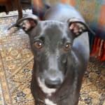 Rachel Ricketts, Mr Jones (dog head commission)