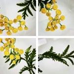 00022 Tanacetum vulgare (Tansy)