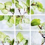 00011 Piper excelsum (Kawakawa)