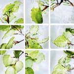 00010 Piper excelsum (Kawakawa)