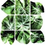 00058 Colocasia esculenta (Taro)
