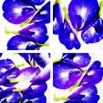 00055 Blue Pea Flower (Clitoria ternatea)