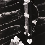 Brett Weston, Pines in Fog, Monterey, CA, 1962