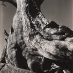 Minor White, Twisted Tree, Point Lobos, CA, 1950