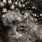 Edward Weston, Cypress Root and Succulents, 1930