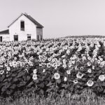 Henry Gilpin, Sun Flowers, North Dakota, 1981