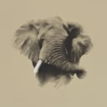 John Green, African Bull Elephant, 2020