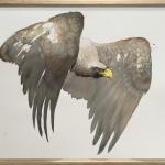 Karl Martens, White Tailed Eagle (Framed) (London Gallery)