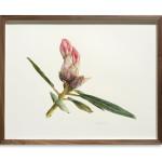 Fiona Strickland, Rhododendron 'Horizon Monarch'