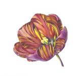 Fiona Strickland, Open Absalon (Tulipa 'Absalon')
