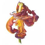 Fiona Strickland, Rococo (Tulipa 'Rococo')