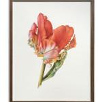 Fiona Strickland, Parrot Tulip, Rococo (Tulipa 'Rococo')