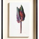 Fiona Strickland, Bud Portrait (Tulipa 'Blumex Parrot')