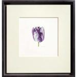 Fiona Strickland, Tulipa 'Rory McEwen' (English Florists' Tulip)