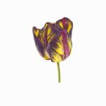 Fiona Strickland, Tulipa 'Lord Stanley' (English Florists' Tulip)