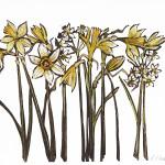 Caroline Cleave, Narcissi Study