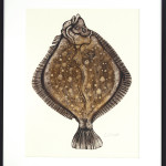 Caroline Cleave, Turbot 'King of the Sea'