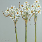 Caroline Cleave, Narcissi Trio