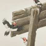 Axel Amuchastegui, Red-headed Woodpeckers