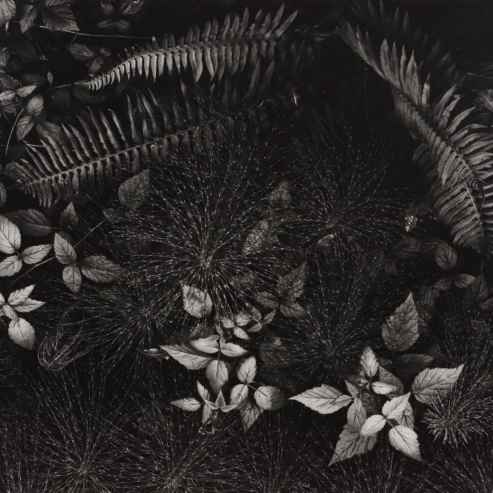 Ansel Adams  Leaves, Mills College, 1931  Silver Gelatin  10 1/2 x 12 3/4 in