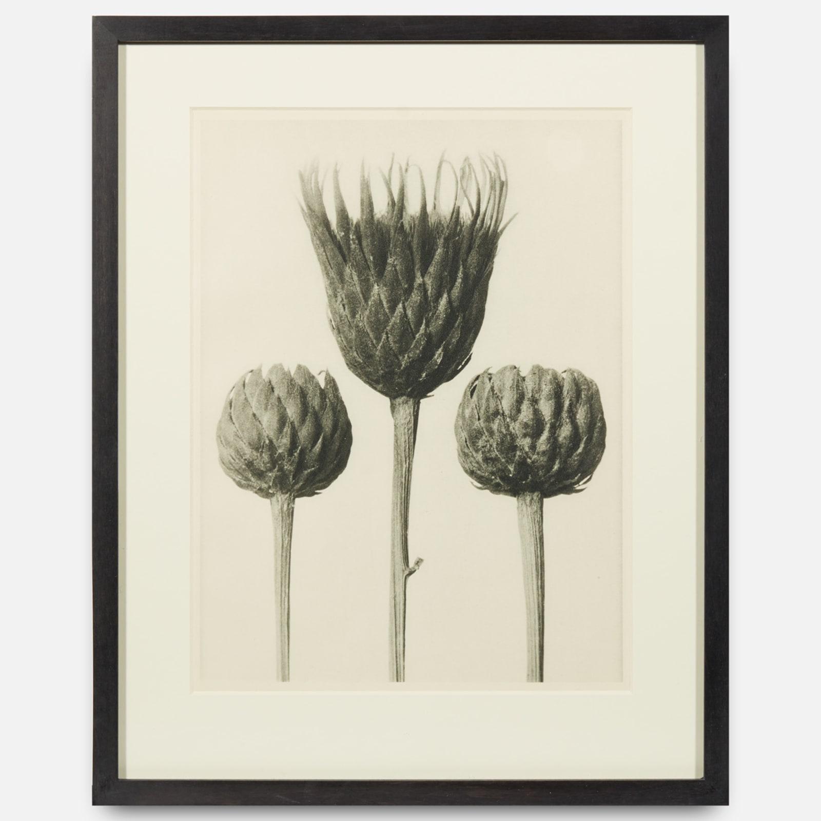 Karl Blossfeldt  Urformen der Kunst (Art Forms in Nature), 1928-1932  print  27 x 20.5 cm (image)  36.5 x 19.5 cm (framed)