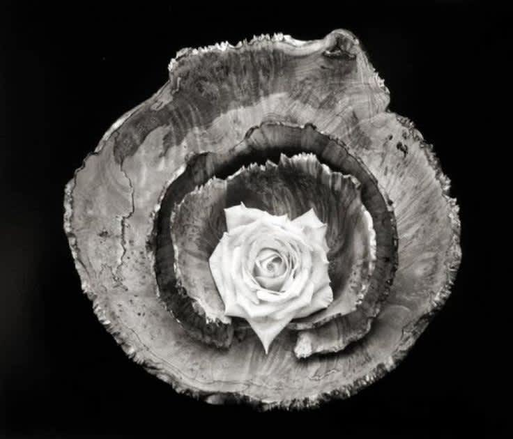 Paul Caponigro, Rose Bowl Still Life