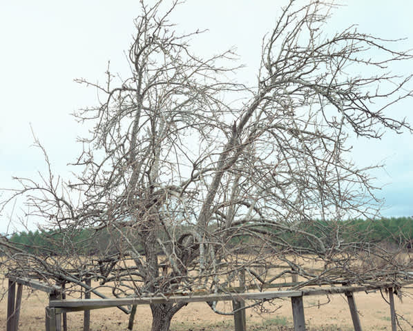 Pear Tree, near Akron, Alabama, January, 2000