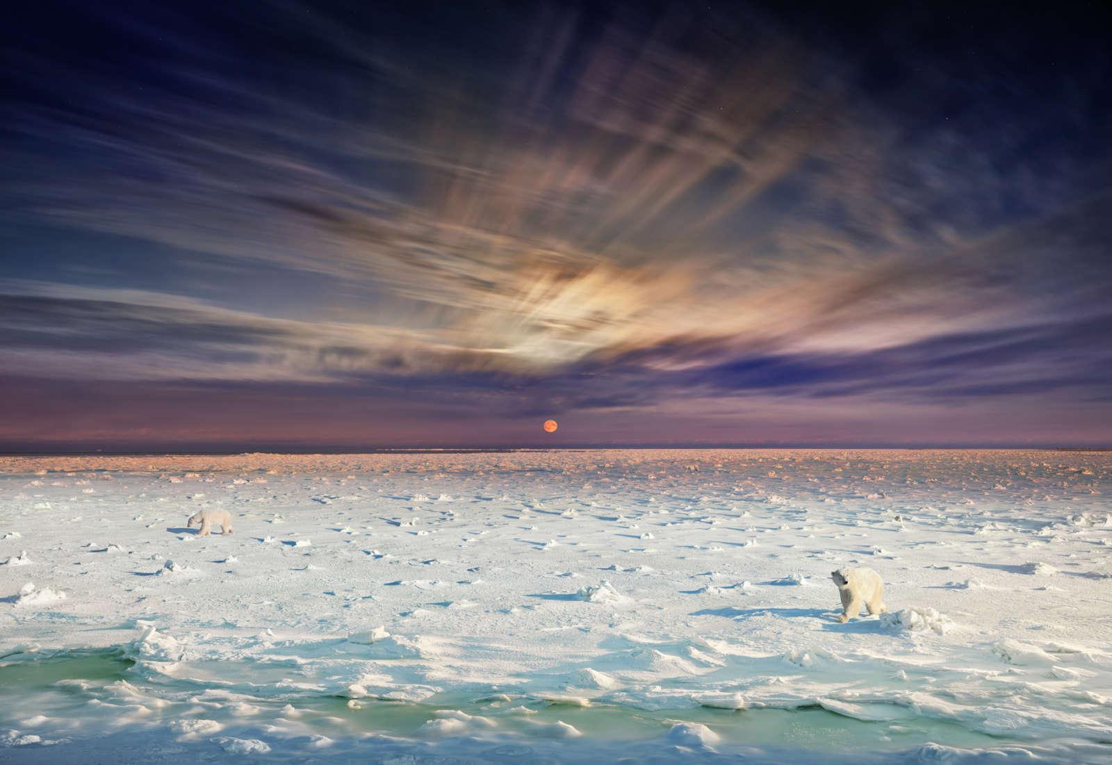 Polar Bear, Churchill, Manitoba, Day to Night, 2019