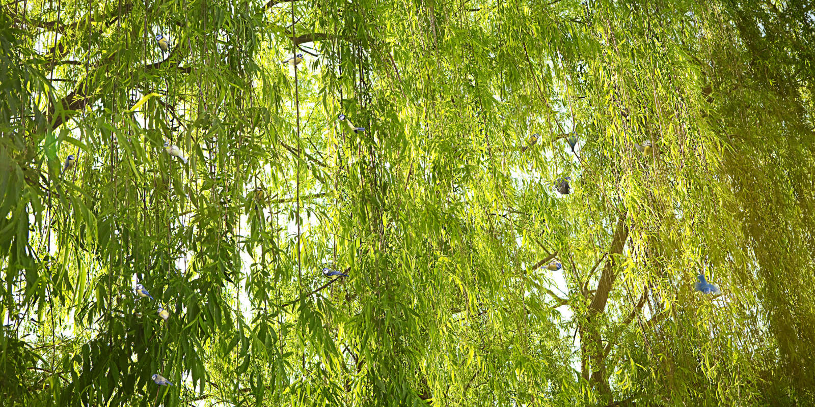 Untitled, Sovereign Tree (bluetits in willow branches)