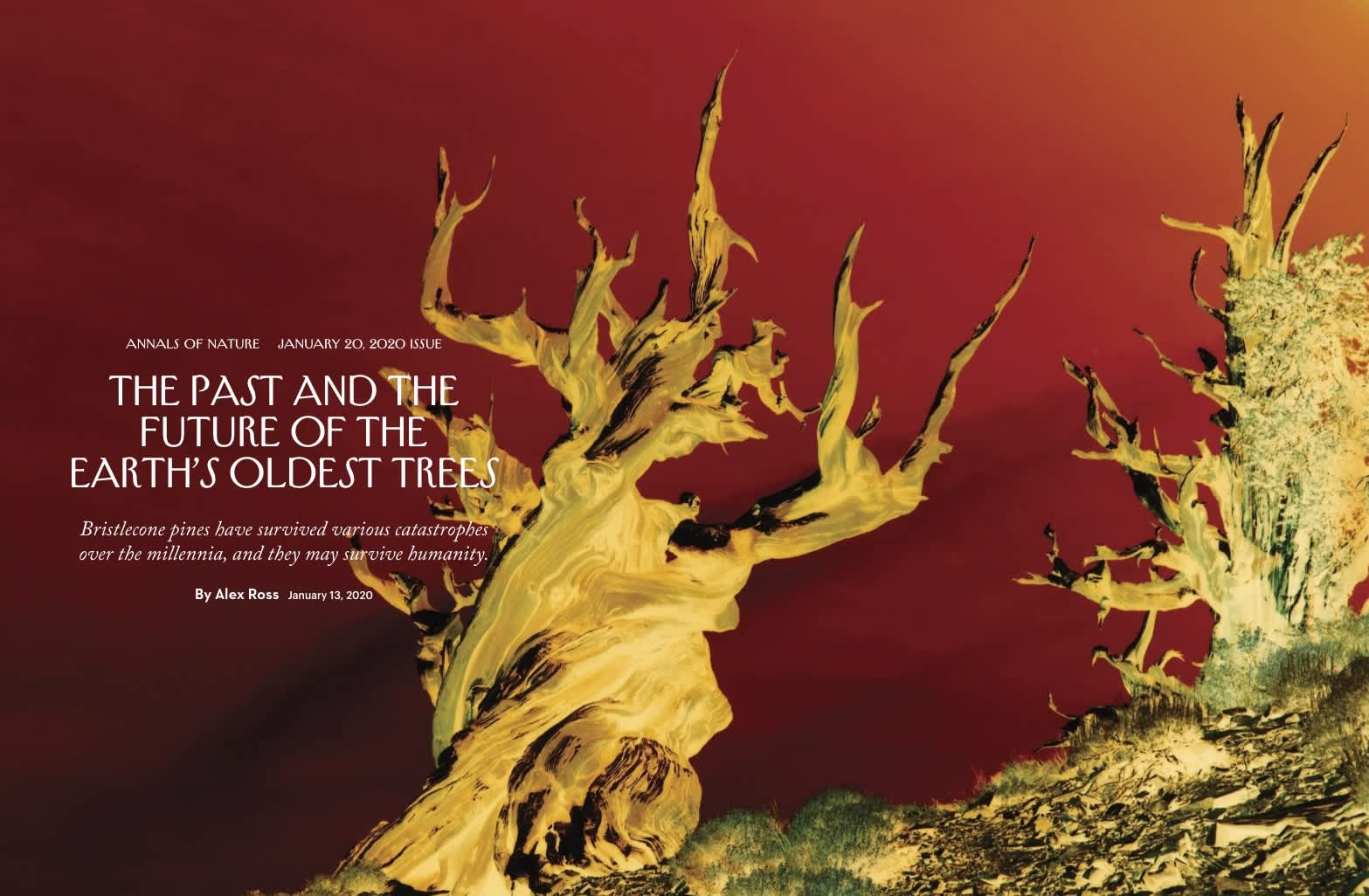 The Past and The Future of Earth's Oldest Trees