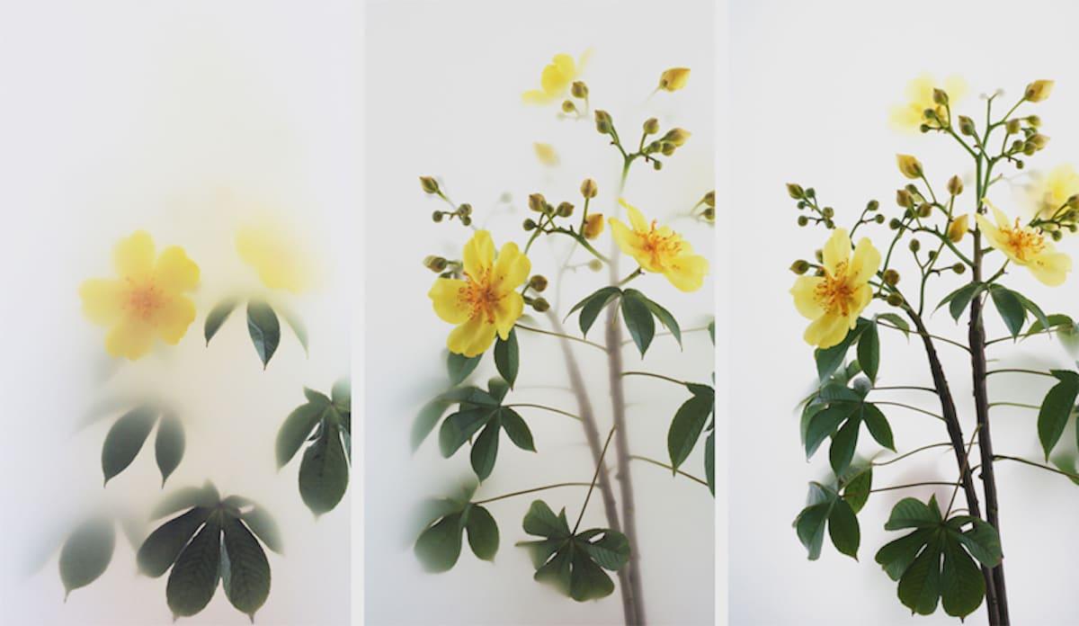 Wu Chi-Tsung 吳季璁, Still Life 012 - Buttercup Tree 小品之十二 – 彎子木, 2019