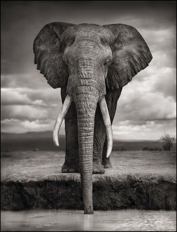 Nick Brandt, Elephant Drinking, Amboseli, 2007