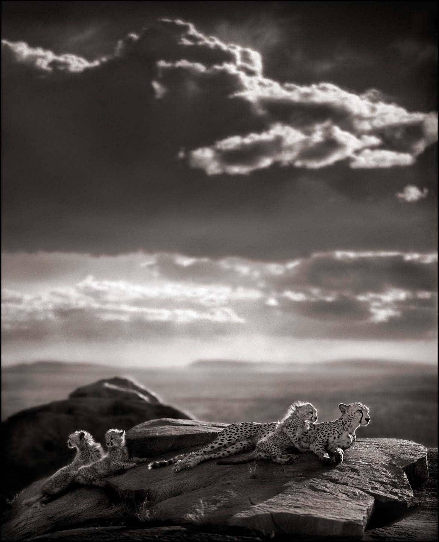 Nick Brandt, Cheetah & Cubs Lying on Rock, Serengeti, 2007